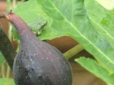 frog and fig