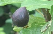 frog fig bee