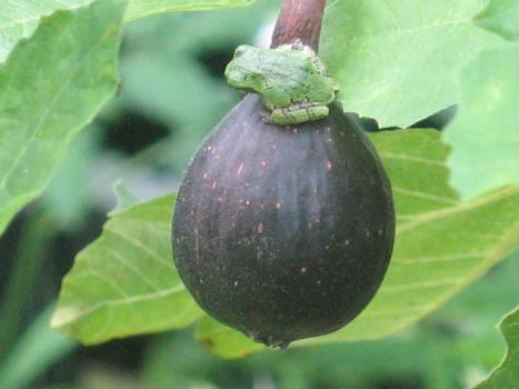 Late Bordeaux & tree frog