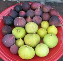 atreano-brooklyn-white-kadota-conadria-champagne-mt-etna-orourke-lsu-purple-petite-negri-improved-celeste-1024x1002