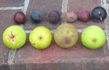 atreano-lsu-gold-longue-daout-white-triana-orourke-lsu-purple-marseilles-black-improved-celeste-or-ronde-de-bordeaux-11