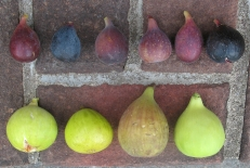 atreano-lsu-gold-longue-daout-white-triana-orourke-lsu-purple-marseilles-black-improved-celeste-or-ronde-de-bordeaux-5