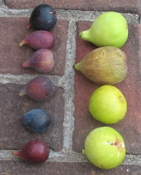 atreano-lsu-gold-longue-daout-white-triana-orourke-lsu-purple-marseilles-black-improved-celeste-or-ronde-de-bordeaux-6
