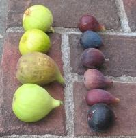 atreano-lsu-gold-longue-daout-white-triana-orourke-lsu-purple-marseilles-black-improved-celeste-or-ronde-de-bordeaux-8