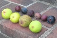 atreano-lsu-gold-longue-daout-white-triana-orourke-lsu-purple-marseilles-black-improved-celeste-or-ronde-de-bordeaux-9-1024x687