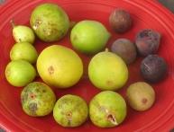 brooklyn-white-long-yellow-peters-honey-emerald-stawberry-hunt-lsu-purple-marseilles-black-lsu-tiger-2