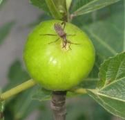 bug on Lattarulla