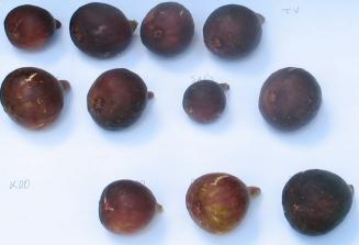 ginos-mt-etna-u-papa-john-spanish-unknown-black-greek-marseilles-black-sals-el-gs-dark-portuguese-ginoso-malta-black-zingarella-2-1024x701