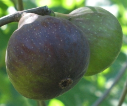 Grantham's Royal breba fig (3)