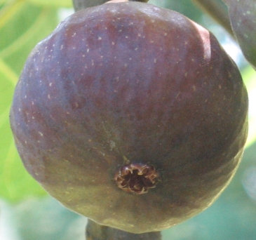 Grantham's Royal breba fig