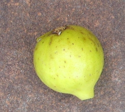 Lemon (4)