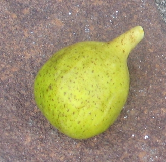 Banana breba (2) (564x553)