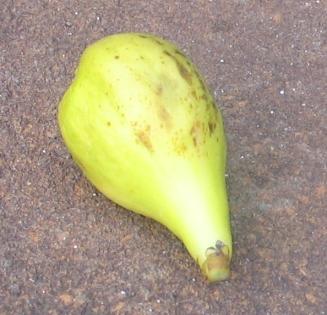 Lemon Blanche breba (3)