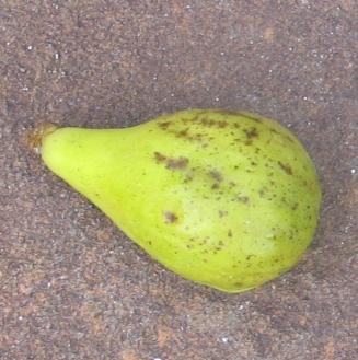 Lemon Blanche breba (558x563)