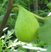 Cucumber (560x569)