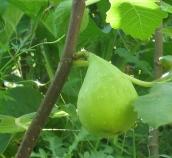 Cucumber (LDA) (775x714)