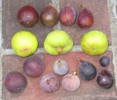 kadota-brooklyn-white-lsu-gold-lsu-purple-improved-celeste-mt-etna-marseilles-black-2-1024x883