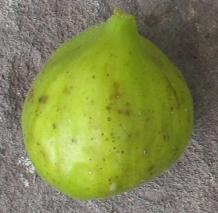 lattarula