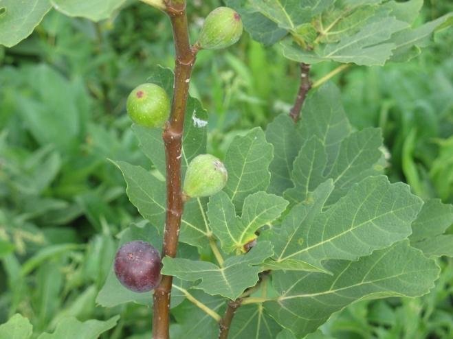 Sultane ripening (1024x768)