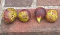 violet-sepor-18-1024x591