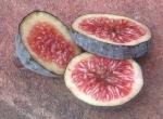 Black Madeira / Figo Preto (berry)