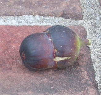 Mt Etna double fig (551x523)