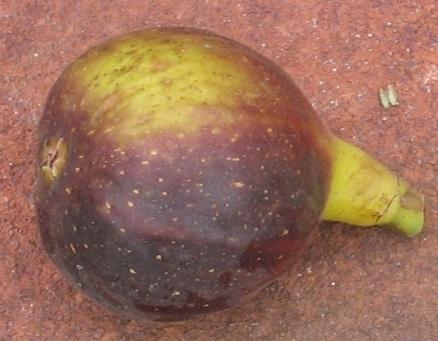 violet-sepor-56