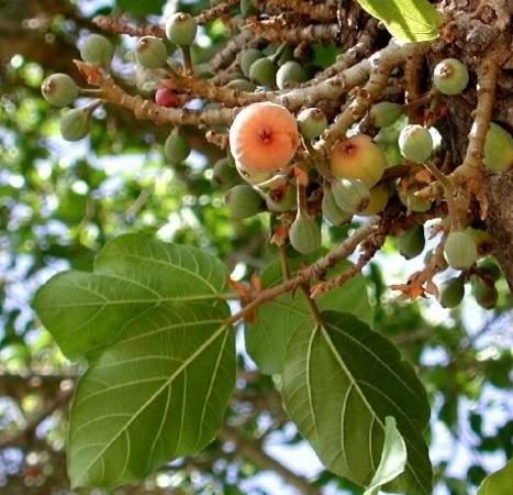 sycamore-figs