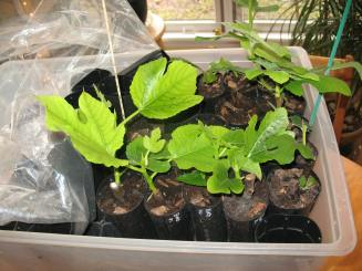 fig-tree-cuttings-4