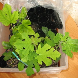 fig-tree-cuttings