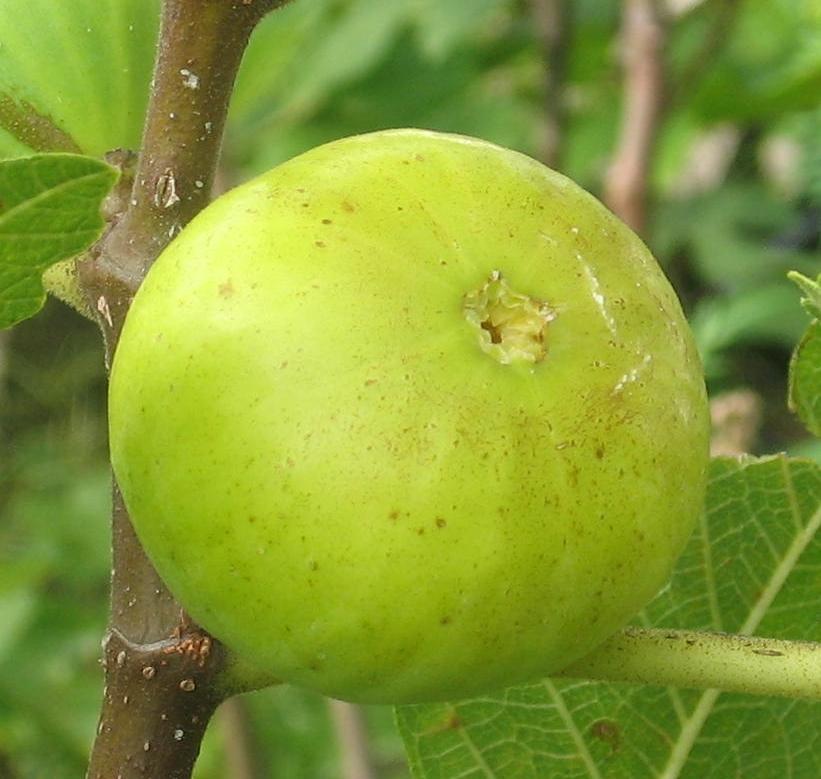 The Brightest Figs
