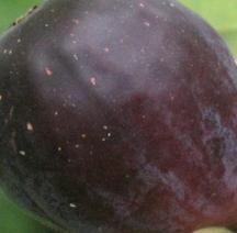 LSU Purple