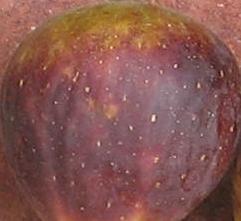 violet-sepor-skin-12