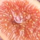 LSU Tiger pulp - sugar berry