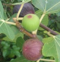 Ronde de Bordeaux stages of ripening (20)