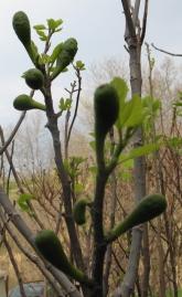Cucumber (Nordland)