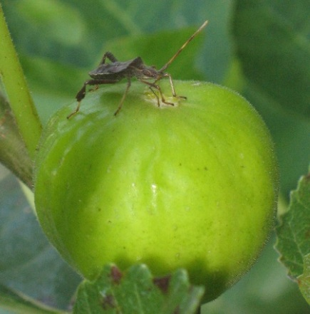 Lattarula & squash beetle