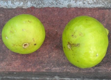 San Miro Piro brebas (4) (1024x738)