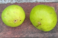 San Miro Piro brebas (5) (1024x677)