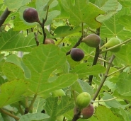 lot of figs (10)