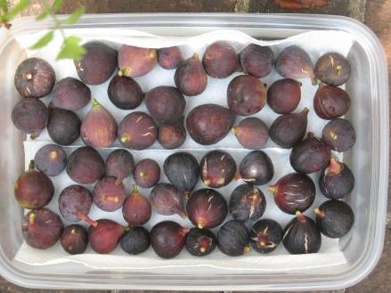 lot of figs Mt Etna Ronde Florea LSU Purple Improved Celeste