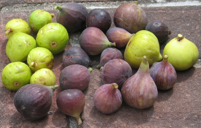 lots of figs Tiger Improved Celeste Brooklyn White Mt Etna Trojano Unknown Italian White Lemon (7)
