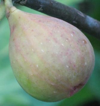 Osborn Prolific main 2nd fig