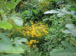 black eyed susans through fig leaves