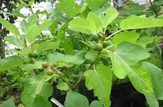 Italian 376 tree