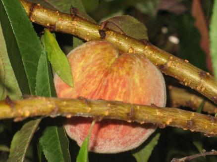 peach (17) (1024x768)
