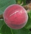 clown fig aspera