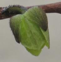 pawpaw blossom 12