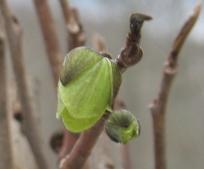 pawpaw blossom 17