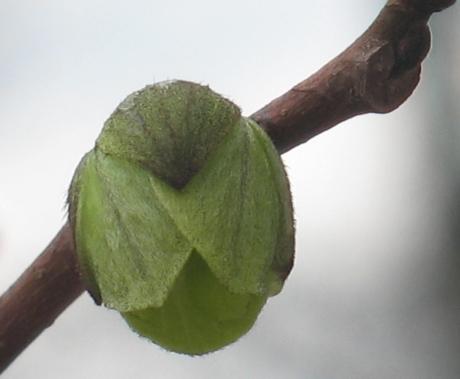 pawpaw blossom 30